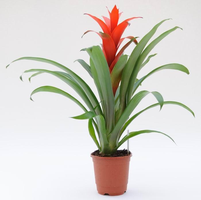 Комнатные растения гузмания фото